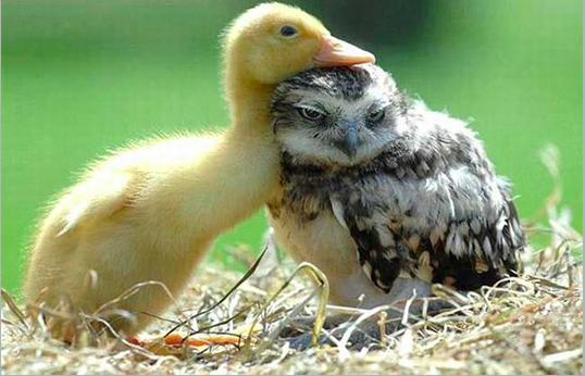 Odd_couples_owl