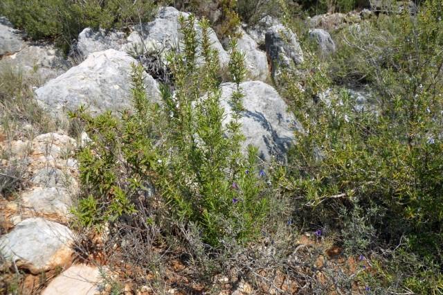 Rosmarinbüsche