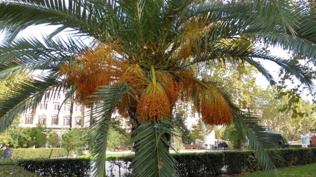 Palmenfrüchte in der Stadt.