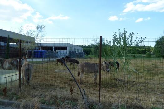 Direkt neben dem Supermarkt von Volta Mantovana weiden Esel.