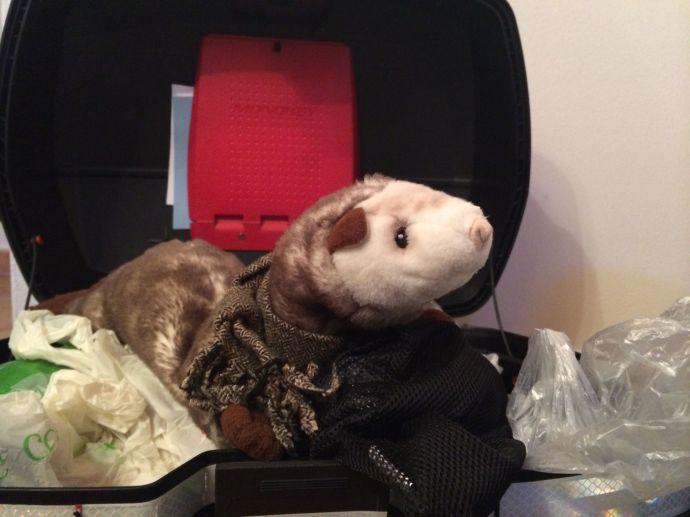 Das Wiesel macht es sich im Koffer gemütlich.