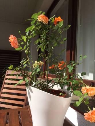 In der kurzen Zeit meiner Abwesenheit hat die Rose, die ich bei der Übernahme der Wohnung auf dem Balkon gefunden habe, angefangen zu blühen.