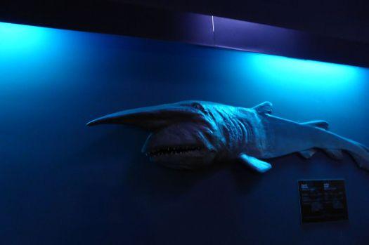 Ein Koboldhai.